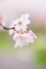 (.) Tags: flower nature japan spring   sakura