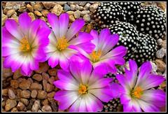 Mammillaria Luethyi (Hasan Ataç) Tags: flowers mammillaria luethyi