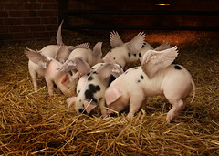 Fledgelets (Matt West) Tags: pink baby cute pig flying wings funny joke pigs piglet sty improbable