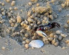 Fiddler on the beach (DJ Cockburn) Tags: male beach sand shell crab mangrove scales westafrica shellfish exoskeleton gambia senegal crustacean carapace fiddlercrab ginak ucatangeri