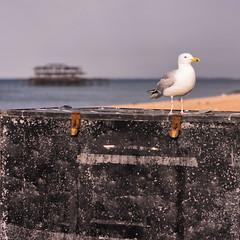 Following Seagulls... (Cirrusgazer) Tags: sunlight beach seaside brighton seagull gull bluesky westpier single perched brightonhove sonya7r fe55mmf18za