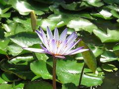 purple light (oneroadlucky) Tags: flower nature purple lotus      plnat
