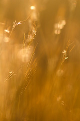 Golden Age (Mario Morales Rub) Tags: golden wilderness goldensunset goldenlight wildgrass goldensunlight goldengrass plenitude sunsetgrass wildernessbeauty grasspanicle