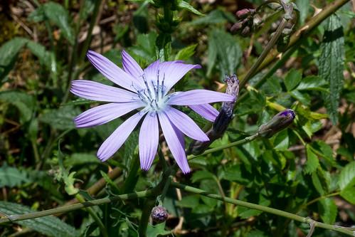 Blauer Lattich - Lactuca perennis - P1060918