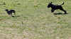 Fornebu mai 2015 (Rune Lind) Tags: summer dog playing dogs oslo norway puddle norge sommer running hund otto jing fornebu hunder leker 2015 pudle løper storpuddel utendørs kongepuddel inngjerding hundehjørnet fornebustranda inngjerdet fornebustranden