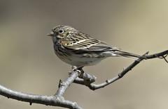 Vesper Sparrow (Jones_76) Tags: sparrow vesper