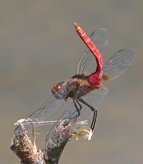 Red-tailed pennant - showing off his tail (Vicki's Nature) Tags: red lake male water canon georgia insect upsidedown dragonfly tail harmony s5 obelisking 4646 redtailedpennant vickisnature