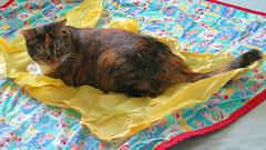 Gracie 7 July 2016 0005Ri 9x16 (edgarandron - Busy!) Tags: cats cute cat gracie feline tabby kitty kitties tabbies patchedtabby