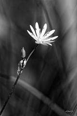 ...little flower... (fredf34) Tags: littleflower flower fleur ariege macro pentax pentaxk3 k3 nb blackandwhite bw pentaxa35105 smcpentaxa35105mmf35 panagor 12mm panagor12mm bokeh pyrnesarigeoises pyrnes arigeoises arige