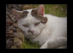 Having A Rest (mini-b) Tags: notmycat inthegarden catcalledsue resting lookingcute canon eos5dmkii