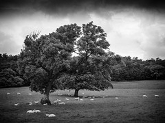 100 Steps (Ian Livesey) Tags: silverdale lancashire tfttf trees bw sheep landscape