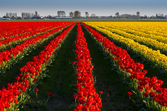 Red and Yellow Tulips from Spring_ (kathleen_kitto) Tags: red yellow tulips skagitvalley skagitcounty