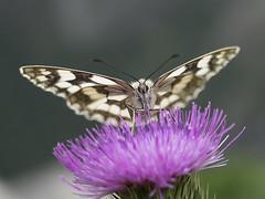 Pfifoltra (2) (Butterfly) (- Lythy -) Tags: schmetterling butterfly