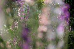 The Secret Garden (Goruna) Tags: flowers summer garden mysterious secretgarden rocketlarkspur gartenrittersporn consolidaajacis doubtfulknightsspur goruna