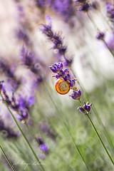 Snail (kinga.lubawa) Tags: flowers flower colors canon sommer snail sensual kwiaty kwiat sonnar kolory kolorowe soneczny limak lawenda sonecznie canon6d lawendowy lawendowe