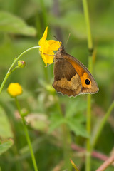 Meadow Brown (Andrew_Leggett) Tags: maniolajurtina meadowbrown butterfly summer grasses meadow andrewleggett outdoor insect small nature