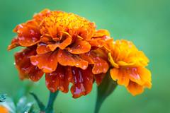 Marigolds (Matt H. Imaging) Tags: matthimaging flowers flower flora marigold sony slt sonyalpha slta77ii a77ii ilca77m2 ilca77ii minolta minoltaaf100mmf28macro minolta100f28macro sal100f28