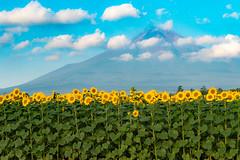 2016 Summer Fuji (shinichiro*) Tags:    jp 20160807ds38057 2016 crazyshin nikond4s afsnikkor2470mmf28ged fuji sunflower    yamanashi japan summer august