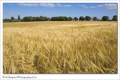 Fields of Gold (Paul Simpson Photography) Tags: northlincolnshire scunthorpe sonya77 summer barley crop nature imageof imagesof paulsimpsonphotography photoof photosof fieldsofgold field farmland farm august2016 harvest