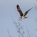 Osprey Breaking Branches