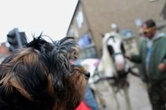 Flo the yorkie poo puppy meeting a horse (@oakhamuk) Tags: puppy rutland oakham flo yorkiepoo martinbrookes