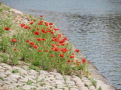 ckuchem-0511 (christine_kuchem) Tags: wasser kanal ufer stein middelburg mohn zwischen pflasterstein stadtgrn begrnung wildpflanze wildwuchs