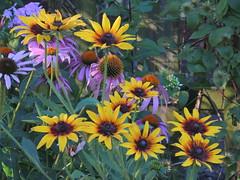 Summer's Mix (clarkcg photography) Tags: flowers summer yellow garden coneflowers purple pedals