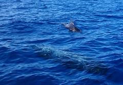 DSC_3460 (daeljan) Tags: blue sea tenerife whale adeje