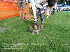 DAT2016_Crowd_WireHairDachsy_1079 (greytoes_99) Tags: agility dat2015 dat2016 event humanesocietytacoma people summer tacoma tacomahs volunteers dog humananimalbond cat lakewood wa us