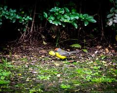 Araero Corona Rojiza (Marcelo J. Lamarque) Tags: aves animales animals birds yerbabuena tucumn argentina ar