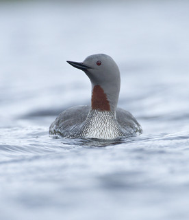 Red throated Loon (Diver)