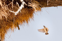 Sociable Weaver in flight (richardkt4545) Tags: wildlife nature bird couple desert desertbird etosha namibia africa afrika animal outdoor feather giraffe elephant sociable weaver hut sunset savannah tin roof thorn acacia nest baby