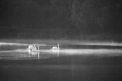 Etang (micheldavid77) Tags: etang swan cygne