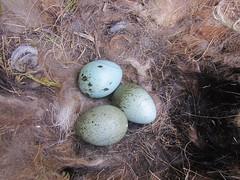 IMG_1655 (JMarshall78) Tags: nests nest birds ornithology wildlife devon