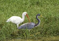 Fishing Buddies (C. P. Ewing) Tags: ibis heron bird birds fishing avian outdoor outdoors natural nature