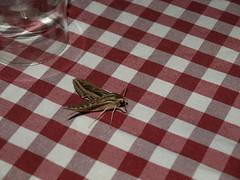Hippotion celerio (Sphingidae) (Rodolfo Giunta) Tags: macro raynox 250 fz45 germany rodolfogiunta hagen lepidotteri insetti lepidoptera insect closeup moth falena moths heterocera allaperto animale insetto