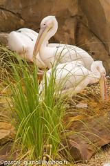DSC_2330 (Pascal Gianoli) Tags: beauval bird oiseau pelican plican zoo zooparc saintaignansurcher centrevaldeloire france fr pascal gianoli pascalgianoli
