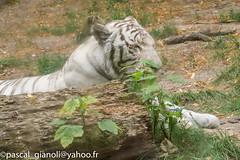 DSC_2379-HDR (Pascal Gianoli) Tags: beauval lion lionne tigre tigreblanc whitetiger zoo zooparc saintaignansurcher centrevaldeloire france fr pascal gianoli pascalgianoli