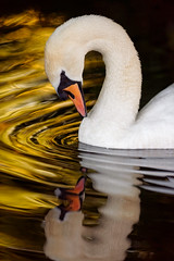 'Alchemy' (Jonathan Casey) Tags: swan reflection ripples water gold golden d810 400mm nikon f28 vr wow