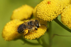 Wormkruidzijdebij - Colletes daviesanus, Miseriebocht (henk.wallays) Tags: