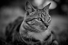 i'm a professional model (rondoudou87) Tags: cat chat noiretblanc blackwhite pentax k1 nature blanc noir white black portrait face eyes eye yeux oeil cute felin