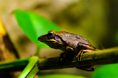 Sitting on a stalk (Rico the noob) Tags: dof bokeh finland d500 frog 70200mmf4 2016 helsinki animal macro travel published nature 70200mm zoo eye animals indoor closeup
