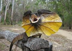 Frill-necked Dragon (Chlamydosaurus kingii) (shaneblackfnq) Tags: frillnecked dragon chlamydosaurus kingii shaneblack lizard reptile frill neck agamid mount mt molloy fnq far north queensland australia iconic tropics tropical