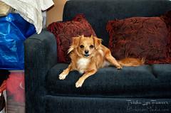 Mia03 (TrishaLyn) Tags: dogs animals pomeranian chihuahua pomchi pets