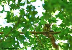 03072016-GP1011_A_3 5 (teodago) Tags: ghiro verde green animal mammifero life wildlife photography natura