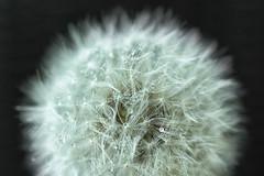 Wet... (michael_hamburg69) Tags: pusteblume dandelion lwenzahn samen fallschirm cramaillot diente de len pisciacane   pgngyng samenstand