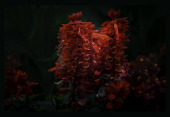 rot_gruen (lotharwillems) Tags: feuersalbei blte blten blume blumen rot grn natur naturfotograf garten pflanze zierde salviasplendens bloom blossom flower flowers red green natural naturephotographer garden plant ornament