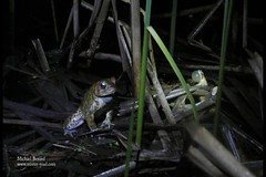 Toad singing with a Spring Peeper (Pregilla) Tags: nature ecology singing amphibian science toad mating reproduction bufo springpeeper pseudacriscrucifer americantoad bufoamericanus bufonidae hylidae vocalization anuran ethology