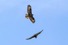 Buzzard (warren hanratty) Tags: nature wildlife gloucestershire buzzard buteobuteo nailsworth warrenhanrattyphotography