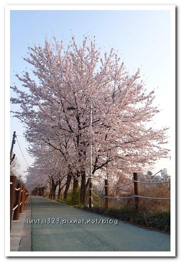 양재천벚꽃05